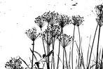die Schwanenblume