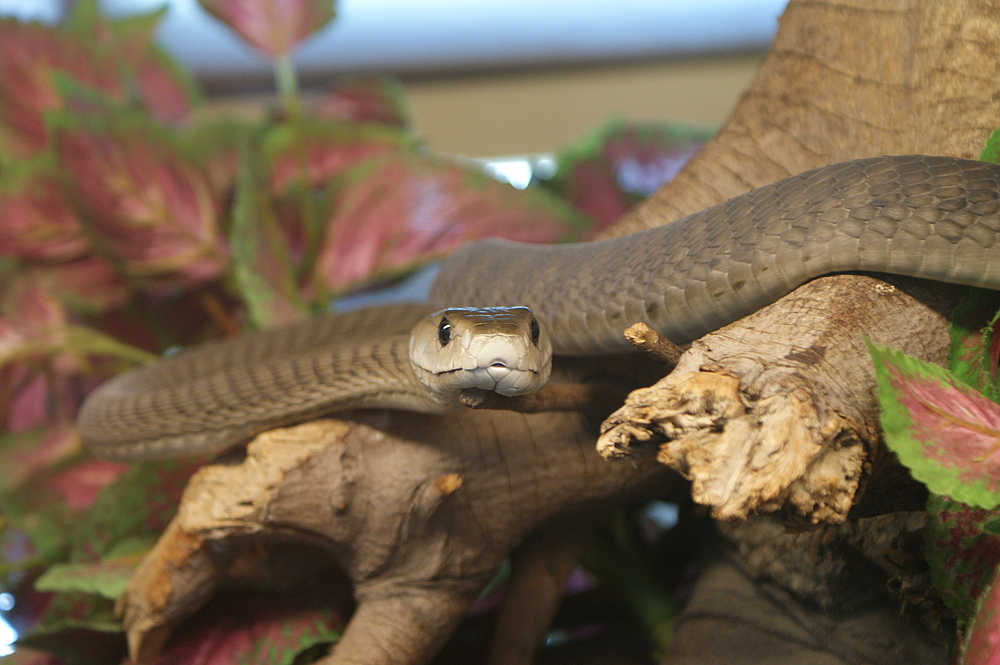 Die Schwarze Mamba (Dendroaspis polylepis)