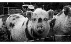 Die Schweine sind da !
