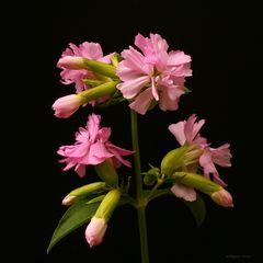 Die Seifenblume