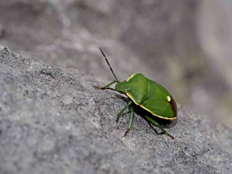 Die seltene Wacholder-Baumwanze (Chlorochroa juniperina) - Punaise de la famille des Pentatomidae.
