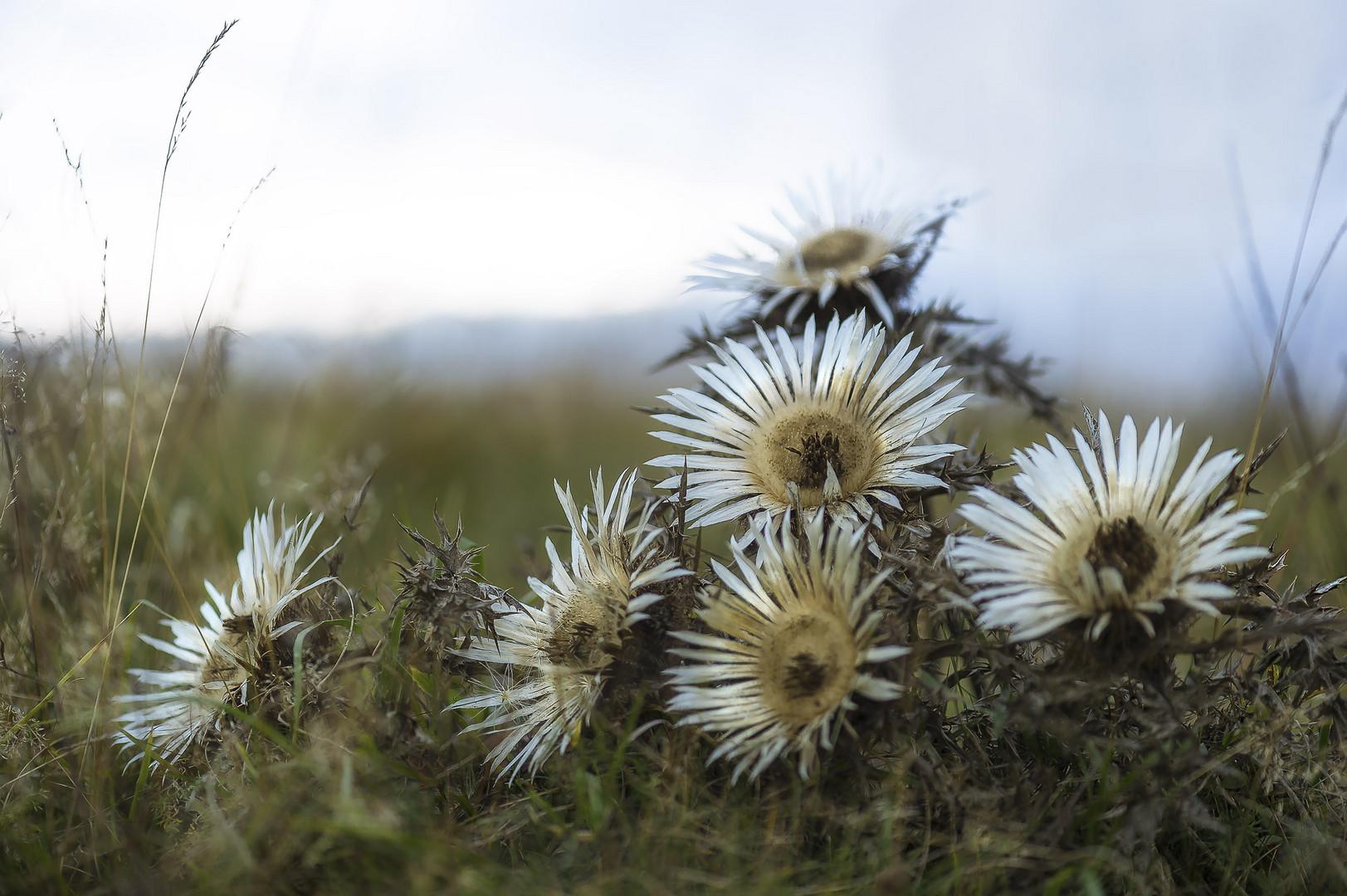 Die Silberdistel Symbolblume der schwäb. Alb