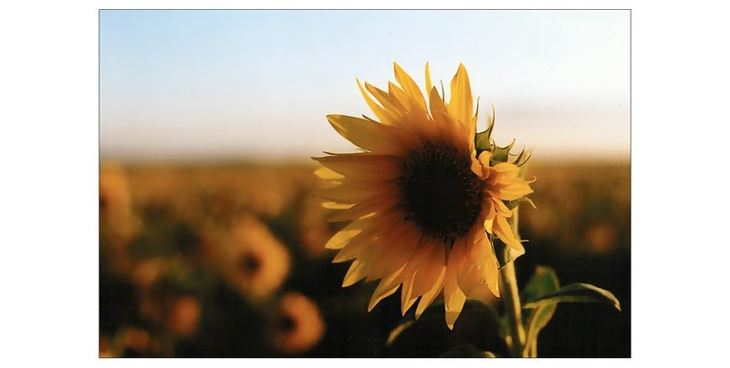 Die Sonne auf dem Feld