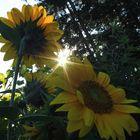 die Sonne und die Blume