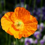 Die Sonne unter den Mohnblumen....