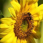 Die Sonnen - Blüte...