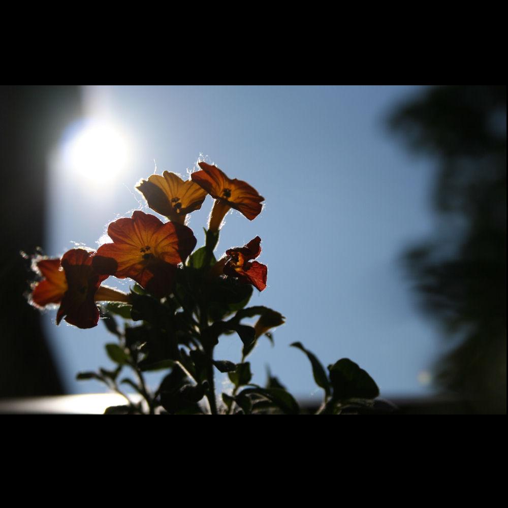 Die Sonnen-Blume