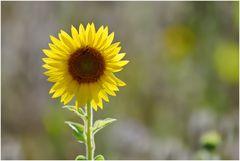 die Sonnenanbeterin