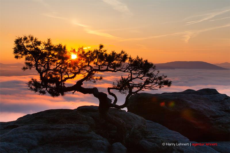 Die Sonnenaufgangswetterkiefer