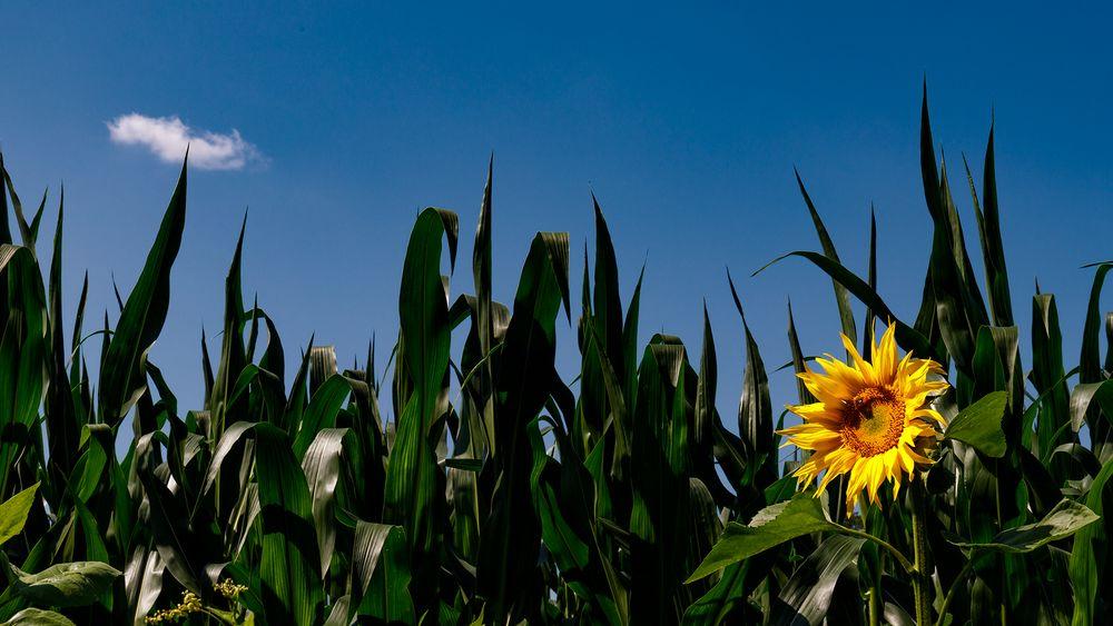 die Sonnenblume und die Wolke