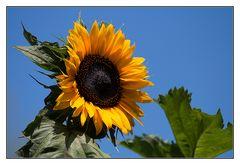 Die Sonnenblume zum Sonntag