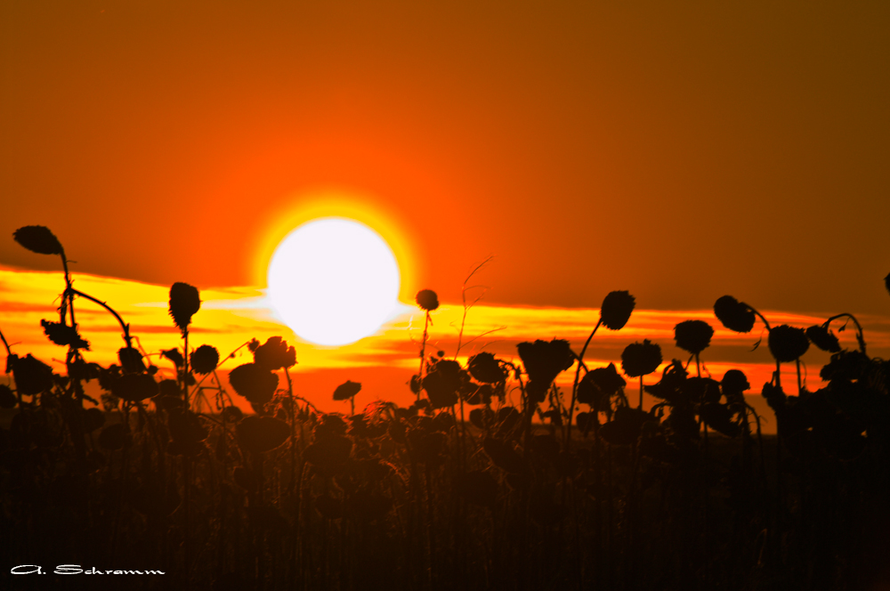 Die Sonnenblumen im Februar...