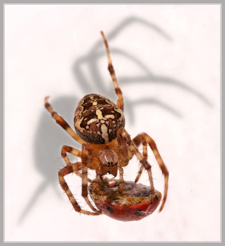 Die Spinne, , ,