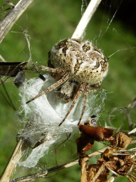 Die Spinne und ihr Nest