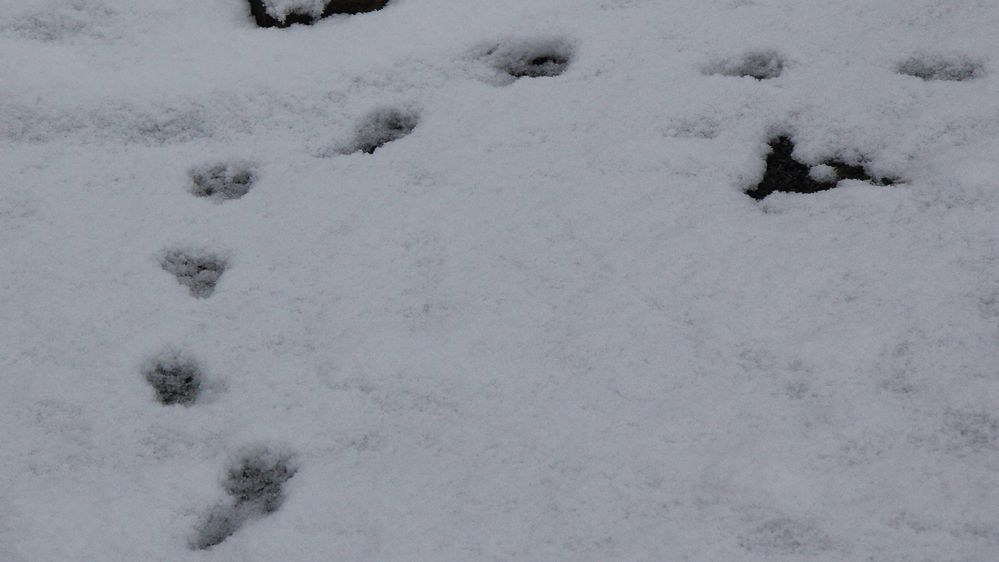 Die Spuren im Schnee am letzten Wintertag 2021