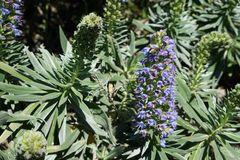 Die stachelfrüchtigen Natternköpfe (endemisch) haben mit der Blüte begonnen!