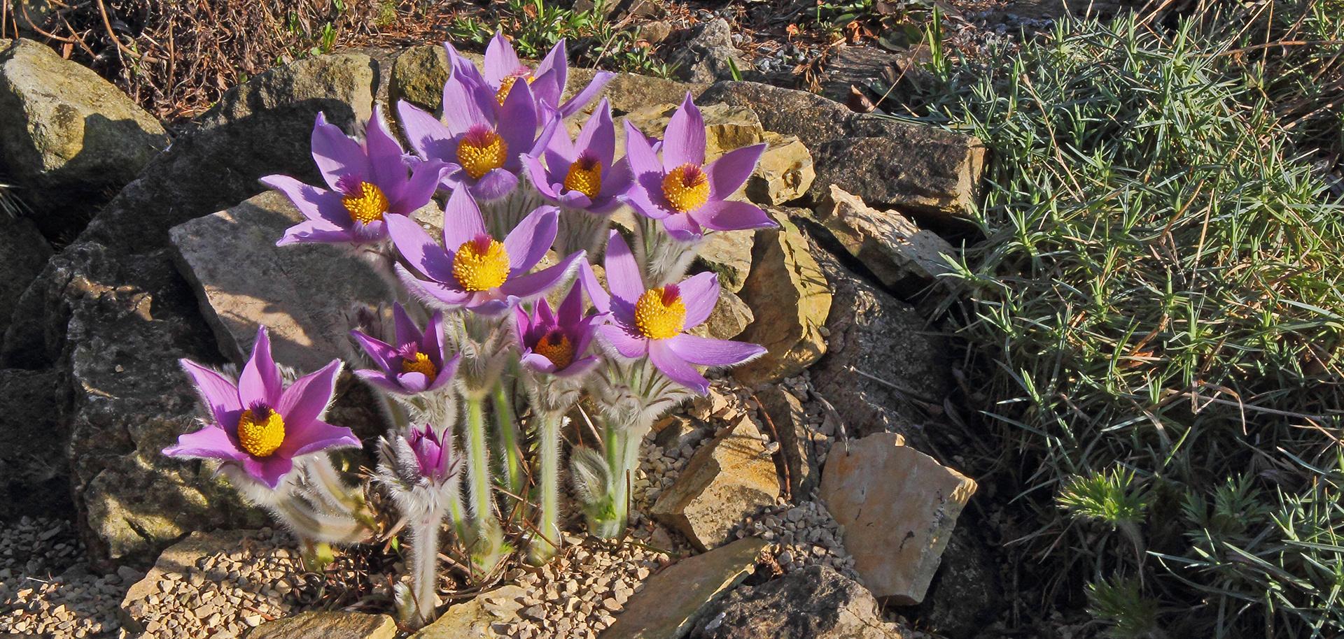 Die Steierische Küchenschelle-Pulsatilla styriaca jetzt fast voll in Blüte...