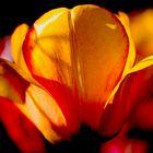 Die stimmungsvolle Tulpe