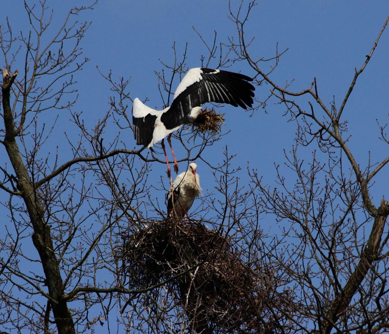 Die Störche bauten heute fleißig Nester