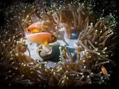 Die Symbiose mit dem Anemonenfisch...