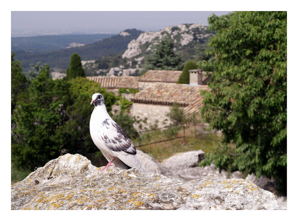 Die Taube