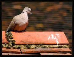 Die Taube aus dem Sprichwort