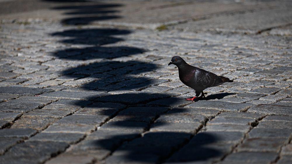 Die Taube und der Schatten