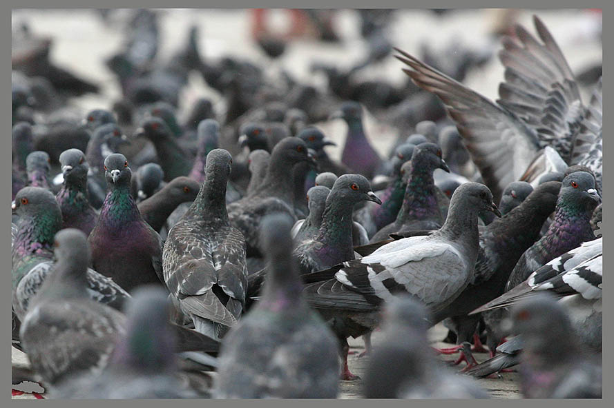 Die Tauben von Venedig