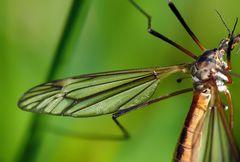 Die tollen Flügel der Insekten faszinieren mich immer wieder.