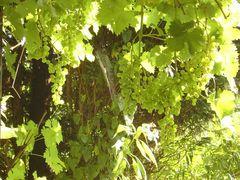 Die Trauben gedeihen
