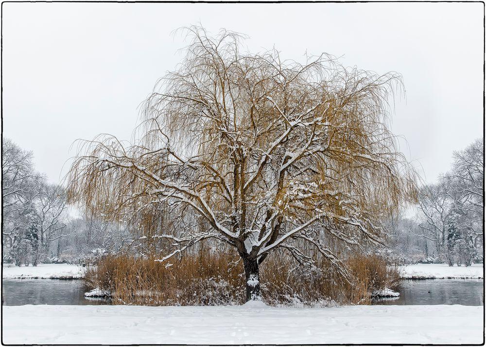 Die Trauerweide im Winter