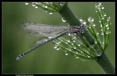 Die Tropfensammlerin ... - The drop collector dragonfly