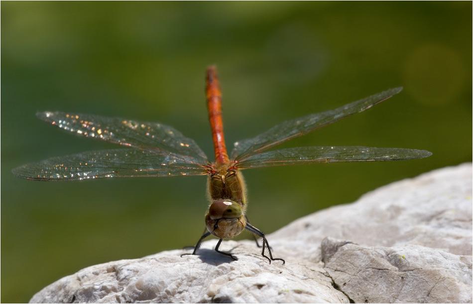 Die Tücken der Libellenjagd :-)