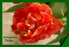 die Tulpe...