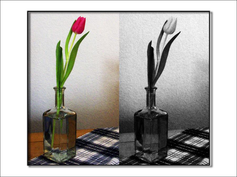 die Tulpe....