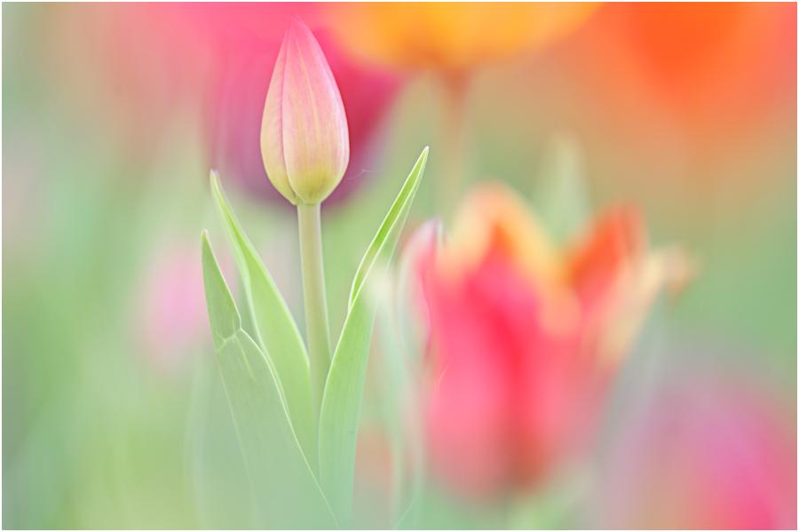 Die Tulpe Ein Gedicht Von Josef Guggenmos Fotocommunity