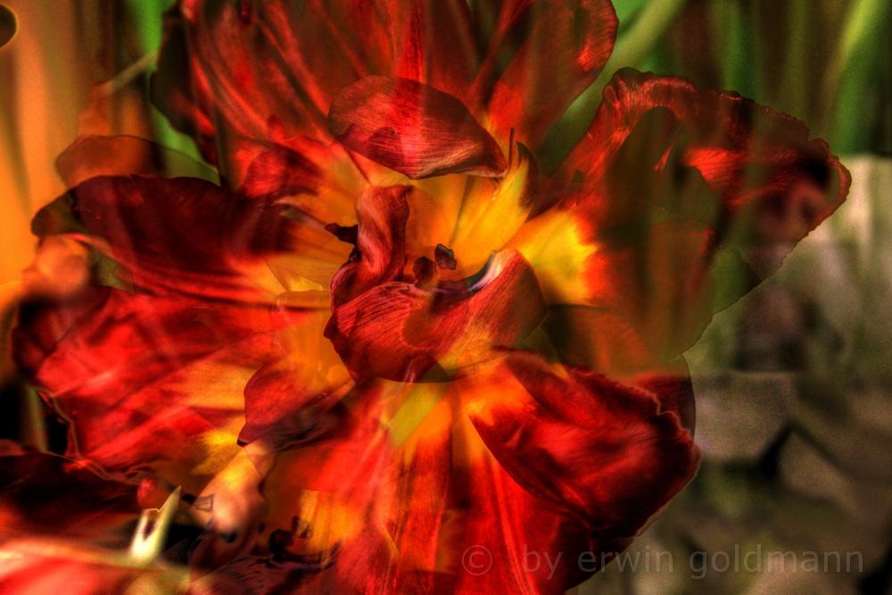 Die Tulpe - Experiment
