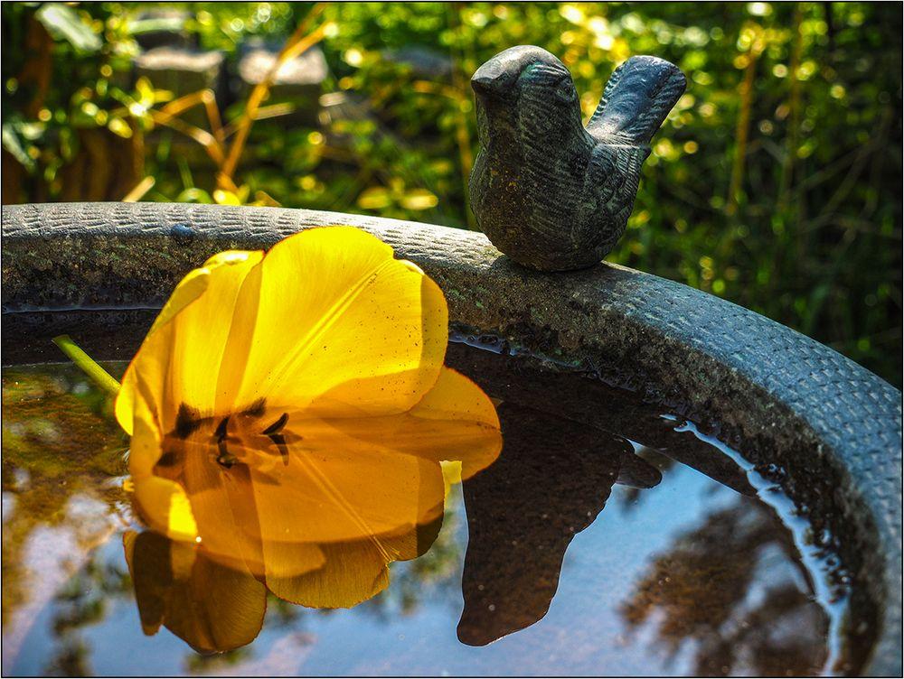 Die Tulpe im Vogelbad