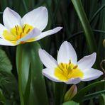 Die Tulpen blühen ....