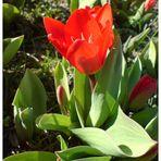 Die Tulpen blühen