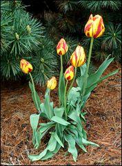 Die Tulpen blühen wieder...