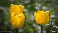 Die Tulpenfamile