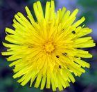 Die unbeliebteste Blume im Garten...