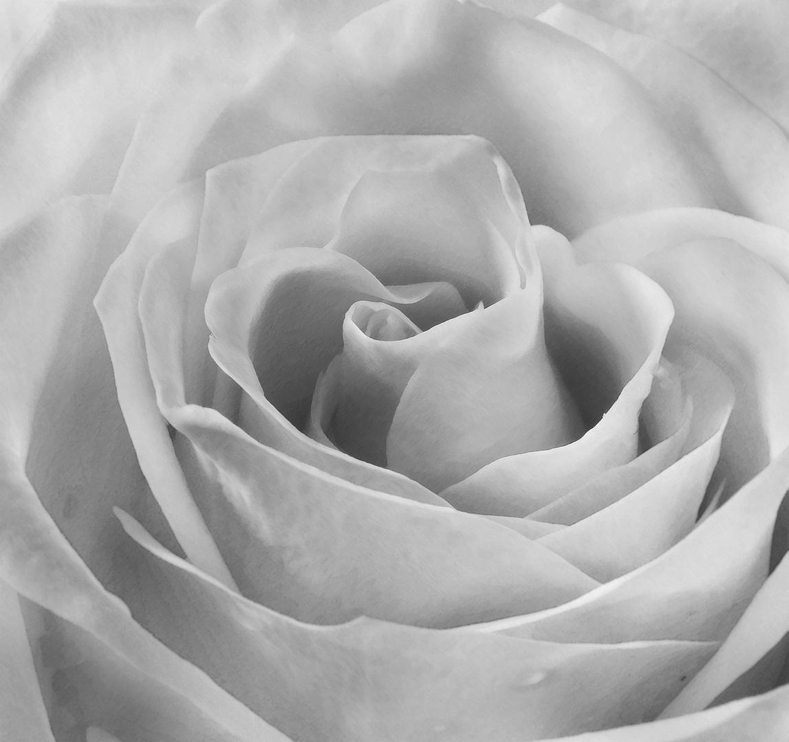 Die unschuldige Rose