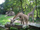 Die vier Giraffen
