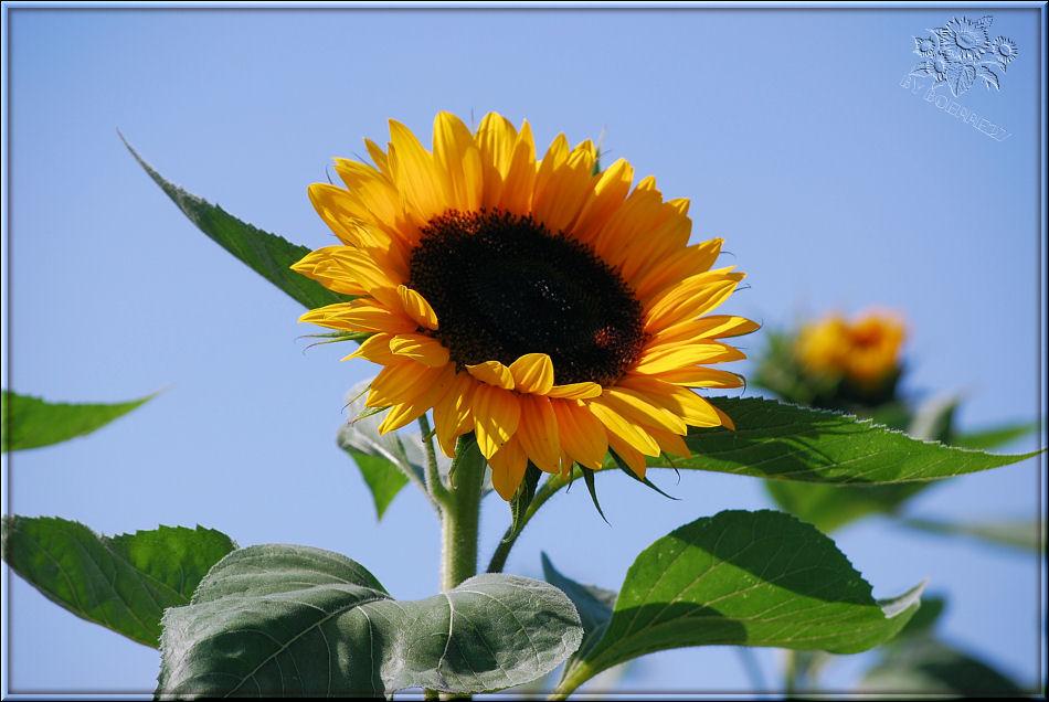 Die vorerst letzt Sonnenblume in diesem Jahr.