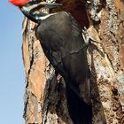Die Vorlage zur Cartoon-Figur  Woody Woodpecker