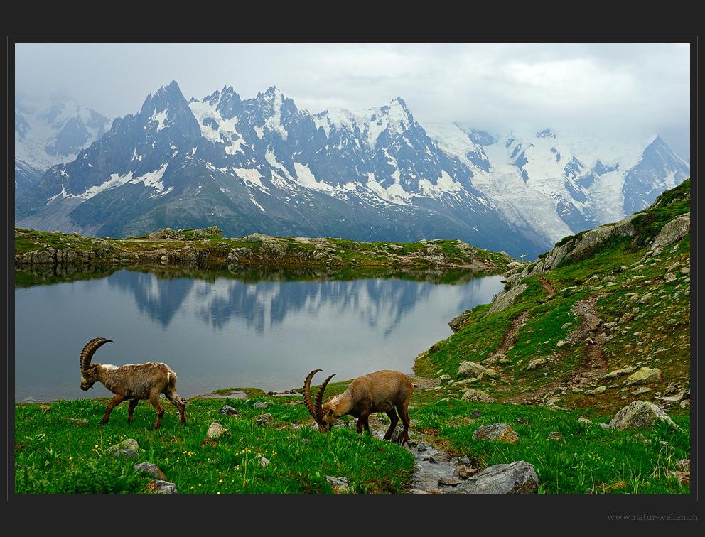 Die wahren Könige der Alpen