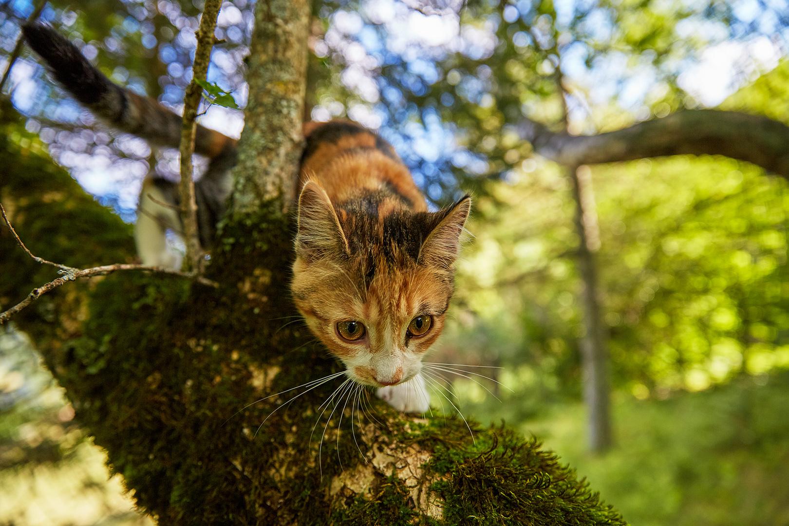 die Waldkatze
