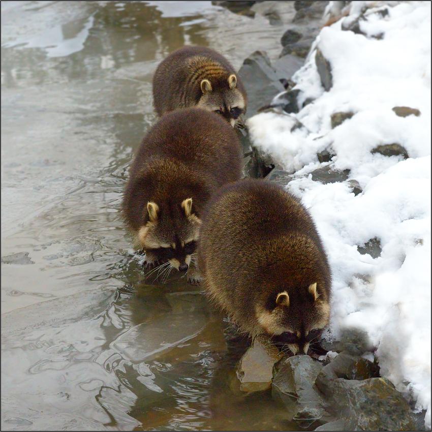 Die Waschbären Bande [22] ...